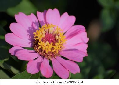 A closeup lmage of zinnia flower