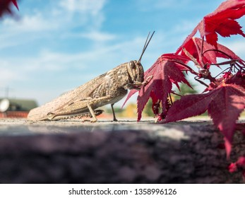 Closeup of a locust, species of short-horned grasshoppers in the family Acrididae which formed plagues since prehistory, near a red maple leaf on the parapet of a terrace