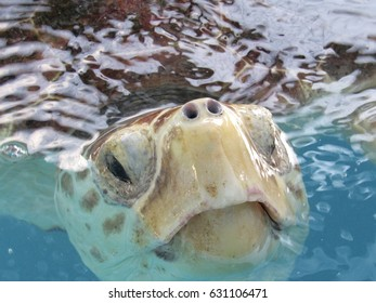Closeup of a Loggerhead Sea Turtle in a tank taken at The Turtle Hospital in Marathon Key, Florida.  While visiting the Turtle hospital on vacation on February 2, 2016.