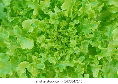 Close-up of Lollo Bionda lettuce or Green coral lettuce in hydroponic vegetables salad farm. Close-up center of Green lettuce leaves with tight curly leaves. Fresh vegetables background and wallpaper.
