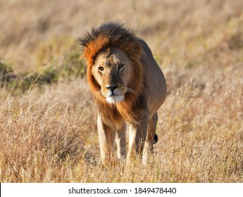 A closeup of a lonely lion walking in the savannah