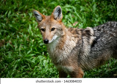 Closeup lonely wild Coyote,small wolf lives in North Western America and Mexico, looking at camera on green grass background.