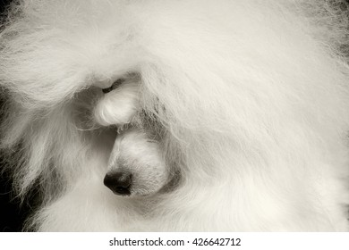 Closeup long groomed White Hair Poodle Dog guiltily lowered his head Isolated on Black Background