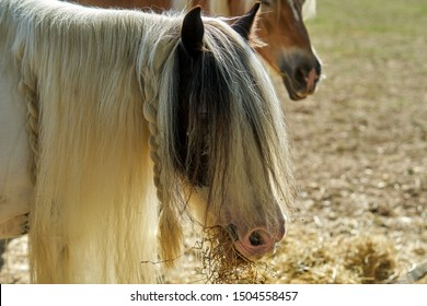 Closeup of a long haired horse. Gypsy Vanner, Gypsy cob