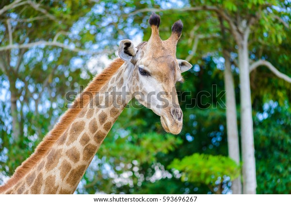 closeup long neck of giraffe head.  is an African even-toed ungulate mammal, the tallest of all extant land-living animal species, and the largest ruminant.