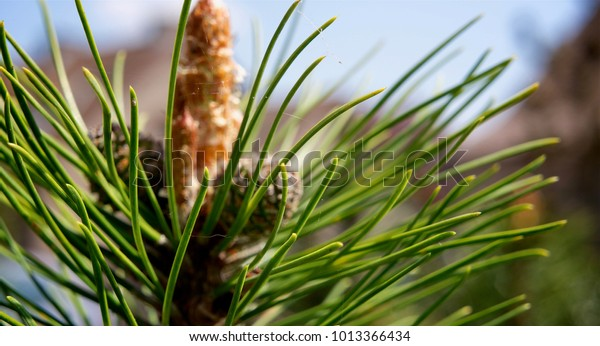 Close-up of the long needles from a pine tree
