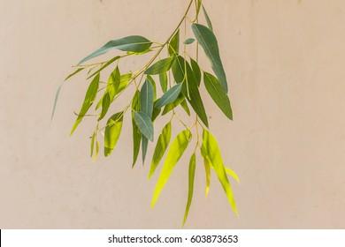 close-up of long slim eucalyptus tree leaves (leaf)