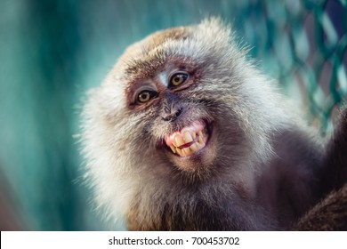 Close-up of a long-tailed macaque ( or crab-eating macaque ) smiling.