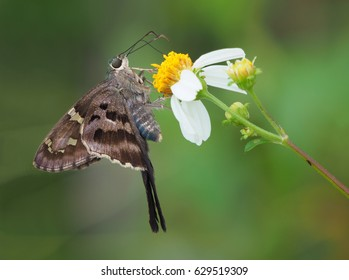 Closeup of Long-Tailed Skipper with Out of Focus Background