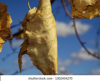 A close-up look at dried leaves hanging from a tree against a blurry background of bright blue sky and branches in Autumn.
