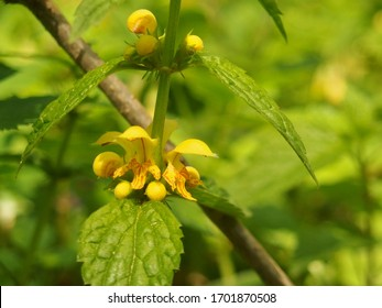 Close-up look at Lamium galeobdolon, known as yellow archangel, artillery plant, or aluminum plant. Blooming yellow flower at sunshine.