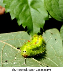 a Close-up look of Nettle caterpillar with thorns, spikes over on bright green body.  its pretty look deceives. It causes symptoms : itchy, pain, painful rash and swollen skin. Beware when gardening.
