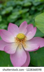 Close-up lotus blossom - waterlily