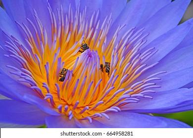 closeup lotus flower with bee swarm