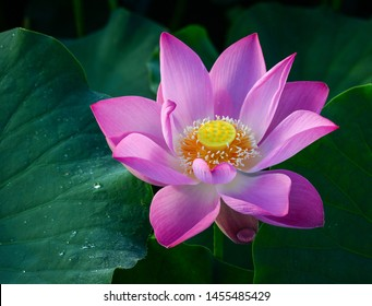 Close-up of lotus flower on the pond at sunrise. For thousands of years, the lotus flower has been admired as a sacred symbol.