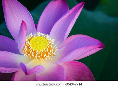 Lotus flower images stock photos vectors shutterstock close up of lotus flower on the pond at sunny day for thousands of mightylinksfo