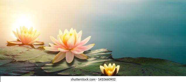 Closeup of lotus flower in pond