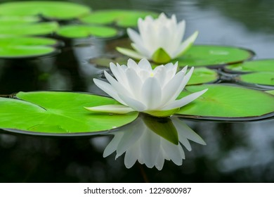 Close-up Lotus nature on blurred greenery background under sunlight using as a wallpaper