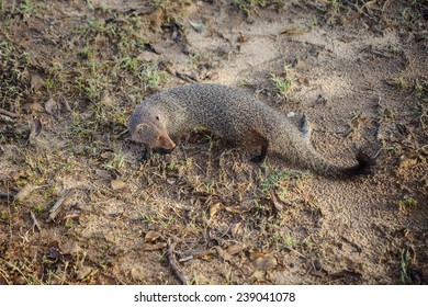 Close-up of a lovely Dwarf Mongoose, also known as Common