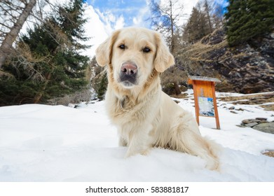 Closeup of a lovely, sweet, beautiful golden retriever sitting on the snow in the mountain. On the background there are trees without snow and blue sky with clouds