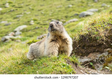 Close-up low angle view of an Alpine marmot before its home in the European Alps
