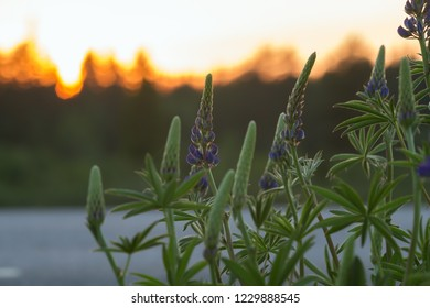 Closeup of lupins bloomning in front of a road