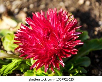 Close-up of a lush red bellis perennis called daisy under the sunshine. Spring bloom flowers in flowerbed. Nature and botany, natural flower with red petals for garden decoration.