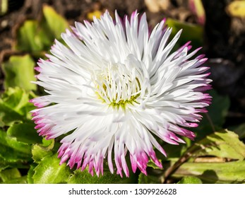 Close-up of a lush white bellis perennis called daisy under the sunshine. Spring bloom flowers in flowerbed. Nature and botany, natural flower with white petals for garden decoration