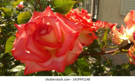 Close-up of a luxuriant, tricolour, red-light red-pale orange rose growing in a rose bed. Exquisite, two-color, red-light orange rose in spring. Sumptuous, red-pale orange rose on the top of a shrub.