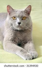 Close-up of lying british cat