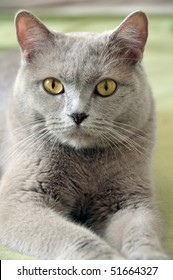 Closeup of lying british feline