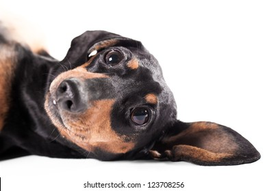 Close-up of lying Dachshund on white background