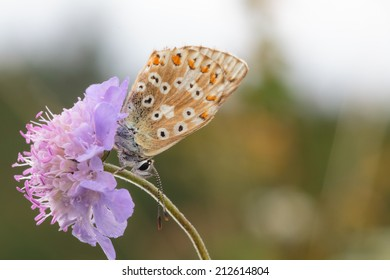 Close-Up Macro of a Blue Gossamer winged Butterfly in the evening with intended blurred background and lovely bokeh