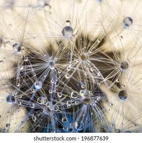 Closeup macro detail of dandelion, soft focus
