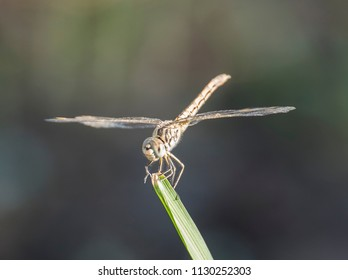 Closeup macro detail of wandering glider dragonfly Pantala flavescens on blade of grass in field meadow