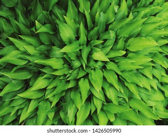 Closeup macro of hosta plantain lilies plant giboshi with water rain drops on green leaves. Natural bright light green abstract background texture. View from top above.