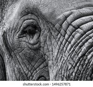 Closeup macro image of an elephant's eye with aged skin and trunk in black and white with copyspace area for wildlife nature based elephant designs and concepts