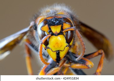 Closeup macro of Japanese giant hornet face