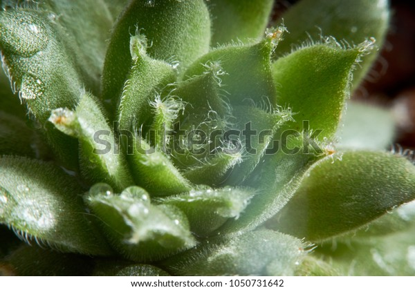 closeup macro mini green cactus leaves