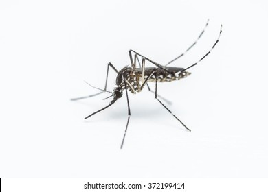 A close-up or macro of a Mosquito on a white background