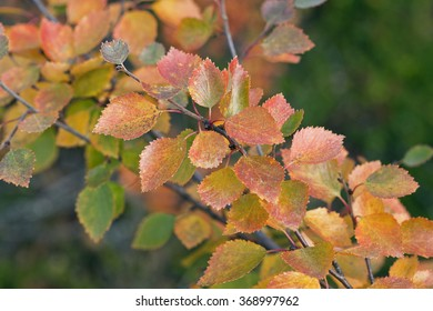 Close-up, macro on colorful autumn, fall leaves on birches. Betula Pubescens in the taiga forest. Yellow, great foliage.