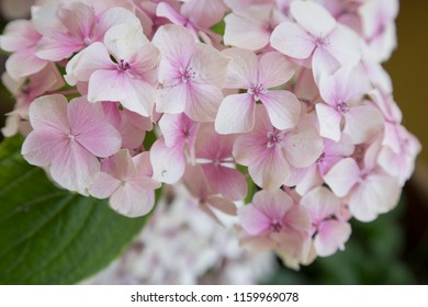 closeup macro of a pink pastel hortensia flower accompanied by green hortensias in a very hipster way