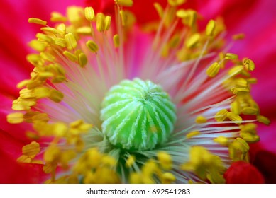 closeup macro of red poppy flower with yellow pollen grain