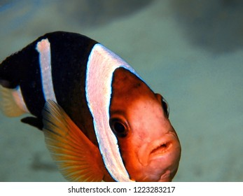 Closeup and macro shot of the Brownsaddle Clownfish or Panda Anemonefish during leisure dive in Tunku Abdul Rahman Park, Kota Kinabalu. Sabah, Malaysia. Borneo.
