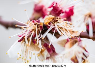 Close-up macro shot of cherry blossom.