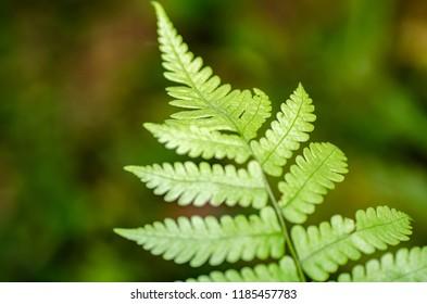 Closeup macro shot fresh green fern leaves with shallow depth of field