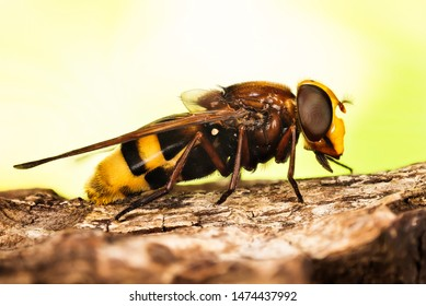 Close-up macro shot of Hornet Mimic Hoverfly or Hornet Hoverfly, Latin name Volucella zonaria