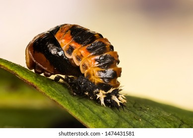 Close-up macro shot of Ladybird Beetle Pupa family of Coccinellidae