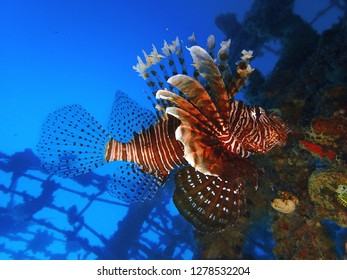 Closeup and macro shot of Lion fish, zebrafish, firefish and colorful coral reefs during a leisure dive in Mabul Island, Semporna, Tawau, Sabah. Malaysia, Borneo.