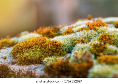Close-up macro shot of moss on stone with green-yellow spores
